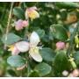 Kép 4/4 - ausztrál fingerlime citrom virág