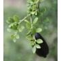 Kép 5/6 - ausztrál fingerlime citrom red termés és levél
