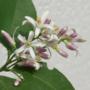 Kép 3/4 - Cappuccio citrom virága