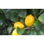 Kép 1/2 - Siracusano citrom termés