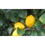 Kép 1/3 - Siracusano citrom termés