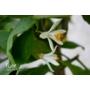Kép 3/3 - Siracusano citromfa virág