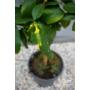 Kép 3/5 - sorrento citrom terméskezdemény