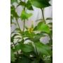 Kép 4/5 - sorrento citrom kis termés