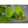 Kép 5/5 - sorrento citrom virág és termés