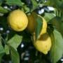 Kép 1/3 - sorrento citrom termés