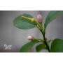 Kép 3/3 - sorrento citrom virág