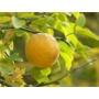 Kép 1/3 - Vadcitrom citrom termés