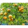 Kép 3/3 - vadcitrom citrom termések
