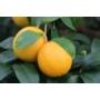Kép 1/3 - Volkamer vörös, korai citrom termés