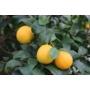 Kép 3/3 - Volkamer vörös, korai citrom termés