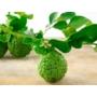 Kép 1/2 - Kaffir lime termés