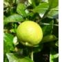 Kép 1/4 - Lime Romana, lime termés