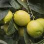 Kép 1/4 - Messicana lime termés