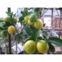 Kép 9/9 - Limequat termések