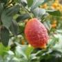 Kép 3/4 - vörös citrom gyümölcs