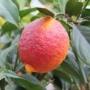 Kép 1/4 - Limone rosso citrom termés