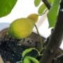 Kép 1/4 - Lunario citrom termés