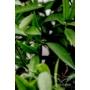 Kép 6/7 - Clementina mandarin levél