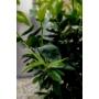 Kép 7/7 - Clementina mandarin levél