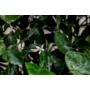 Kép 6/8 - Clemention mandarin virág