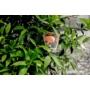 Kép 7/8 - Clementina mandarin levél