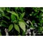 Kép 8/8 - Clementina mandarin levél