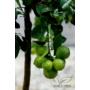 Kép 4/5 - Rangpur mandarin virág