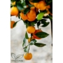Kép 4/9 - Calamondin mandarin termések