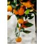 Kép 9/9 - Calamondin mandarin termések