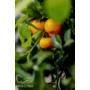 Kép 5/9 - Calamondin mandarin termések