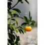 Kép 6/9 - Calamondin mandarin termések