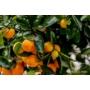 Kép 7/9 - Calamondin mandarin termések