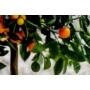 Kép 8/9 - Calamondin mandarin termések