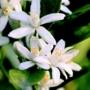 Kép 3/9 - Calamondin mandarin termések