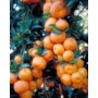 Kép 1/2 - Chinotto mandarin termés