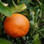 Kép 1/8 - Clementino mandarin termés
