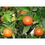 Kép 3/8 - Clementino mandarin termések