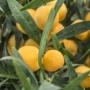Kép 2/3 - Eremorange mandarin fa termése