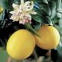 Kép 1/2 - Meyer citrom termés