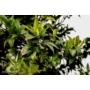 Kép 3/4 - Washington narancsfa fóliakonténerben