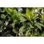 Kép 4/4 - Washington narancsfa fóliakonténerben