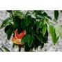 Kép 3/4 - Moro 'Vérnarancs' termések