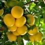 Kép 1/2 - Grapefruit termés