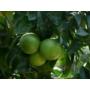 Kép 3/4 - Sinensis narancs