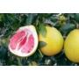 Kép 3/3 - Pomelo termések