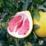 Kép 1/3 - Pomelo termés