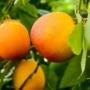 Kép 1/4 - Sanguinello vérnarancs termés