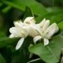 Kép 3/4 - Sanguinello vérnarancs virág