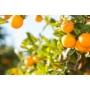 Kép 4/4 - Sinensis narancs